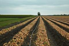 Cebulkowy żniwo w polu Fotografia Royalty Free