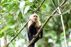 Cebus-Affe im Dschungel Stockfoto