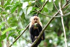 Cebus-Affe im Dschungel Lizenzfreies Stockfoto