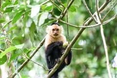 Cebus-Affe im Dschungel Stockfotografie