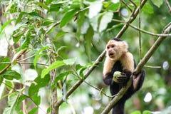Cebus-Affe im Dschungel Lizenzfreies Stockbild