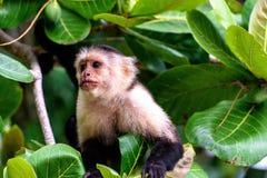 Cebus-Affe im Dschungel Lizenzfreie Stockbilder