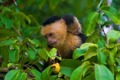 Cebus capucinus. White-headed capuchin monkey mother & baby, Costa Rica Royalty Free Stock Photo