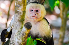 Cebus monkey Stock Photography