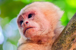 Cebus monkey Royalty Free Stock Photography
