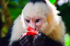 Cebus monkey Stock Images
