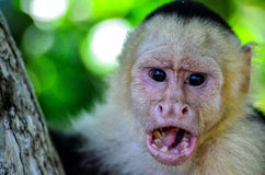 Cebus monkey Royalty Free Stock Photo