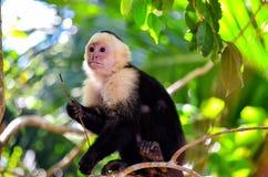 Cebus monkey Stock Image