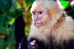 Cebus monkey Stock Photos