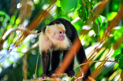 Cebus monkey Royalty Free Stock Photos