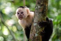 Cebus monkey. In Costa Rica stock image
