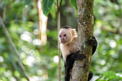 Cebus monkey. In Costa Rica royalty free stock photo
