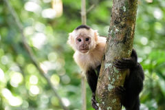 Cebus monkey. In Costa Rica royalty free stock image