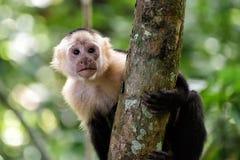Cebus monkey. In Costa Rica stock photo