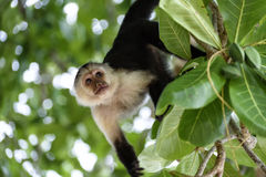 Cebus monkey. In Costa Rica royalty free stock images