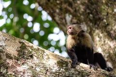 Cebus monkey. In Costa Rica stock photography