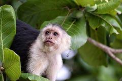 Cebus monkey. In Costa Rica stock photos