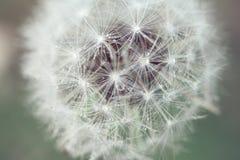 Cecha dandelion zdjęcia royalty free