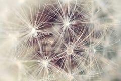 Cecha dandelion zdjęcie stock
