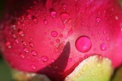Cecha różowa peonia zdjęcie royalty free