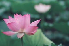 Cecha różowy lotos fotografia stock