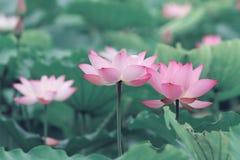 Cecha różowy lotos obrazy royalty free