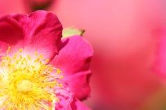 Cecha różowy rosebush obrazy stock