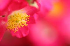 Cecha różowy rosebush obraz royalty free