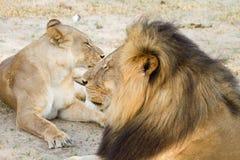 Cecil και ο σύντροφός του που στηρίζονται στο εθνικό πάρκο Hwange στοκ εικόνα με δικαίωμα ελεύθερης χρήσης