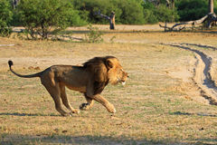 Cecil courant à travers les plaines en parc national de Hwange Images stock