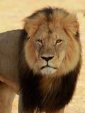 Cecil det Hwange lejonet royaltyfri bild