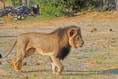 Cecil det Hwange lejonet arkivfoto