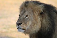 Cecil det Hwange lejonet royaltyfri fotografi