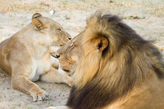 Cecil and his mate resting in Hwange National Park Royalty Free Stock Image