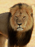 Cecil the Hwange Lion Royalty Free Stock Image