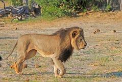 Cecil il leone di Hwange Fotografia Stock