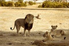 Cecil le lion avec sa fierté en parc national de Hwange Images libres de droits