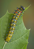 Cecropia caterpillar crawling on leaf. Royalty Free Stock Images