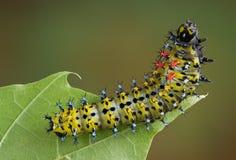 Cecropia caterpillar on leaf royalty free stock photo