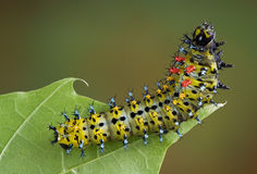 Cecropia Caterpillar On Leaf Royalty Free Stock Photo