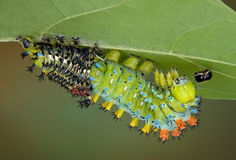 Cecropia caterpillar shedding Stock Photography
