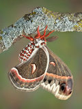 Cecropia moth on branch Stock Images