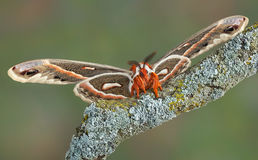 Cecropia moth on branch Royalty Free Stock Photos