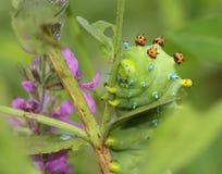 Cecropia Moth Caterpillar Stock Image