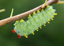 Cecropia Moth caterpillar, Hyalophora cecropia Royalty Free Stock Photos