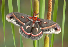 Cecropia moth on cattails Royalty Free Stock Images
