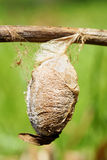 Cecropia moth cocoon. Very large cocoon, or chrysalis, of a saturnid moth, the Cecropia or giant silk moth, Hyalophora cecropia with great detail such as silk Stock Photos