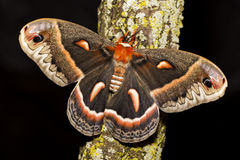 Cecropia Moth Stock Images