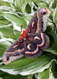Cecropia Moth or Hyalophora Cecropia. Hyalophora Cecropia or Cecropia Moth on a garden Hosta plant royalty free stock image