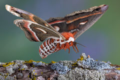 Cecropia moth landing on branch Stock Photography